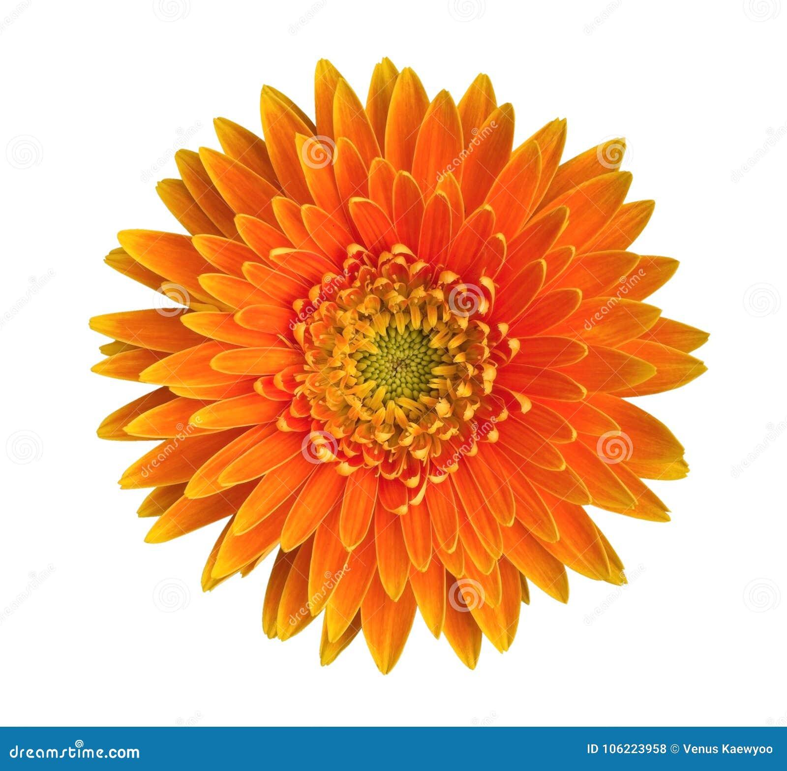 Pomarańczowego gerbera stokrotki kwiatu odgórny widok odizolowywający na białym tle, ścieżka