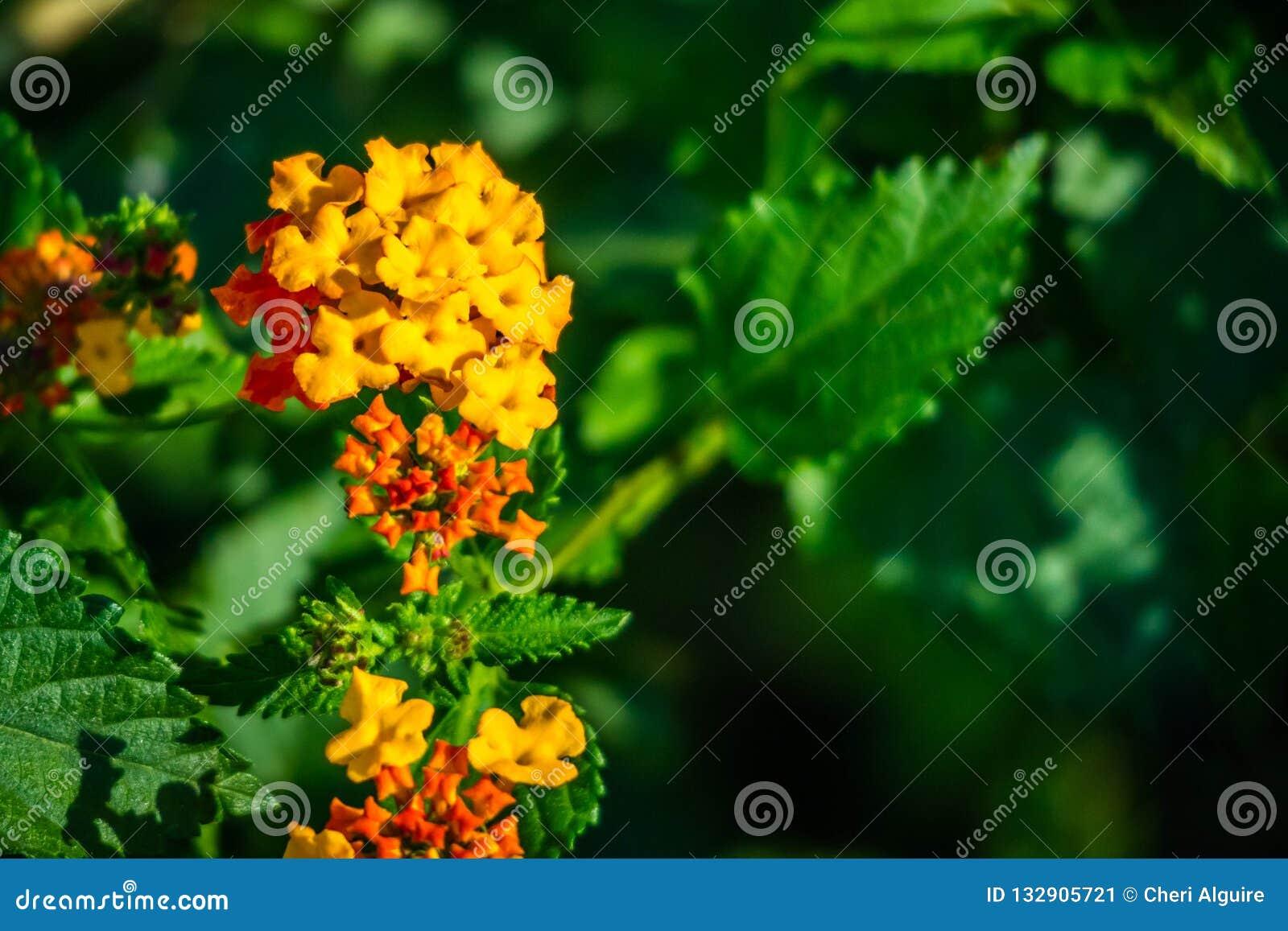 Pomarańczowego Lantana Camara kwiatonośne rośliny w Harlingen, Teksas