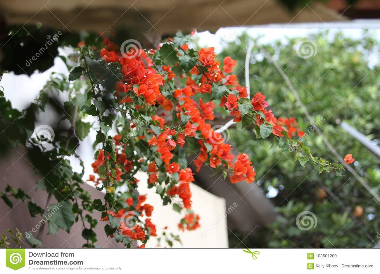 Pomarańczowi bougainvillea kwiaty, Ekwador
