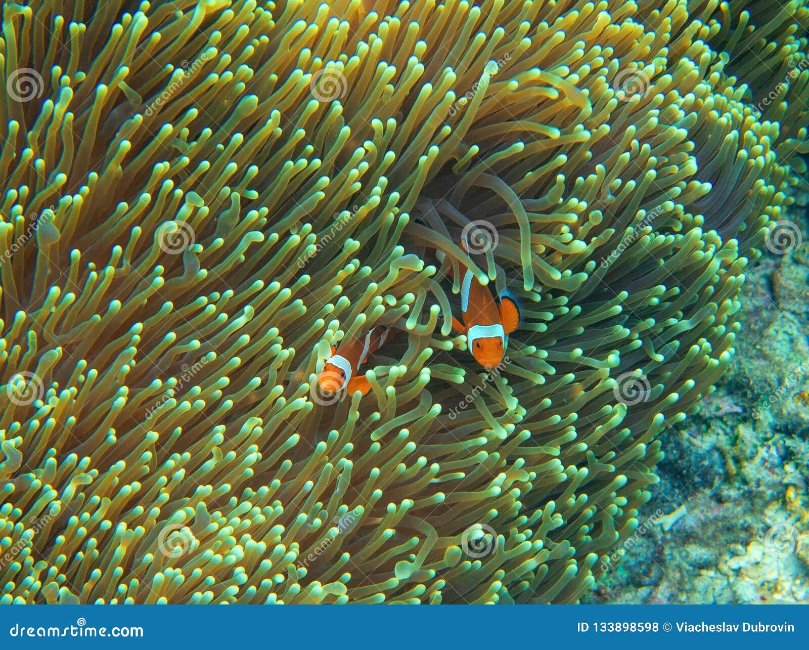 Pomarańczowi clownfish w aktynach Rafy koralowa podwodna fotografia Nemo rybia rodzina Tropikalny seashore snorkeling lub nurkuje