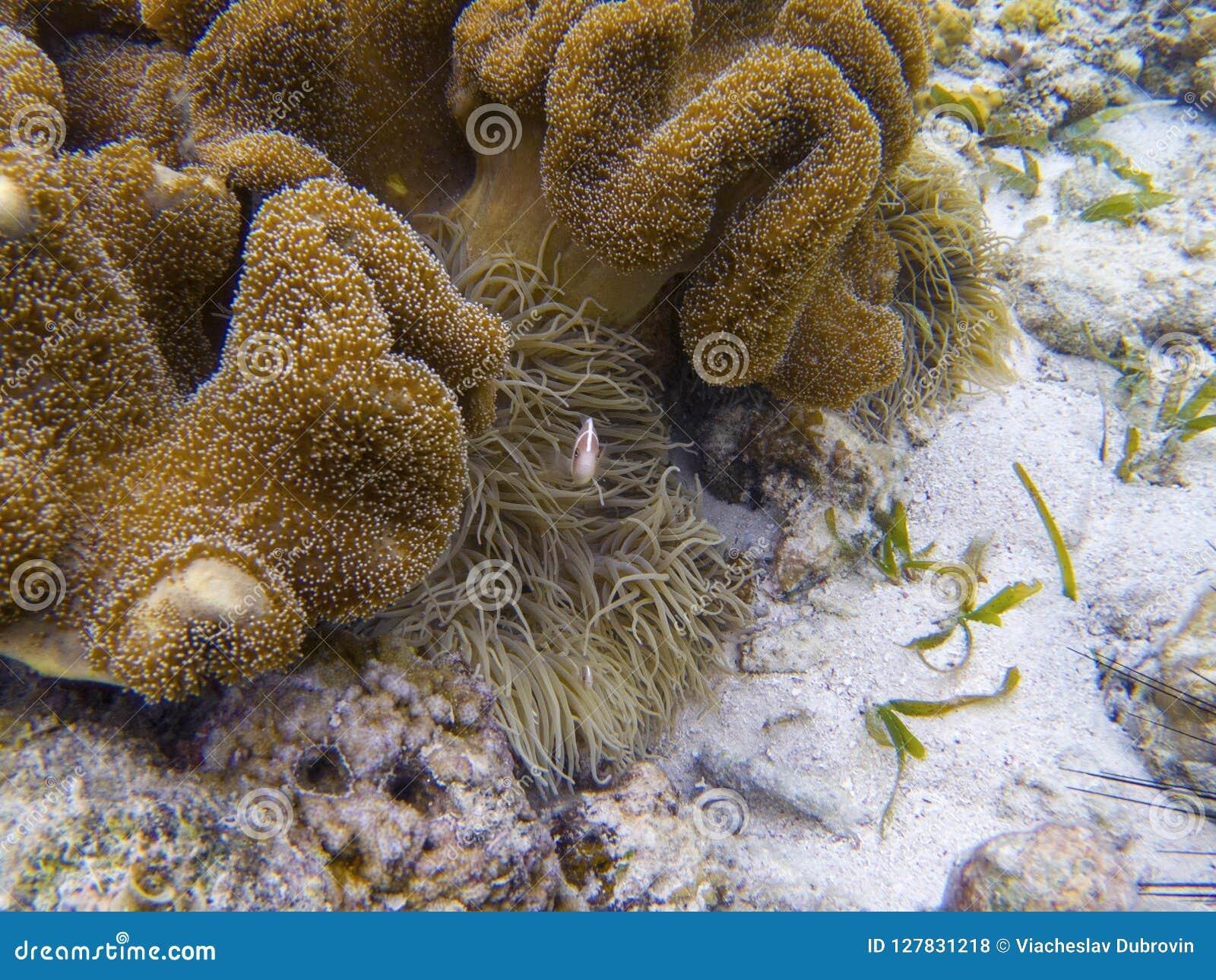 Pomarańczowi clownfish w aktynach Rafy koralowa podwodna fotografia Tropikalny denny brzeg snorkeling lub nurkuje