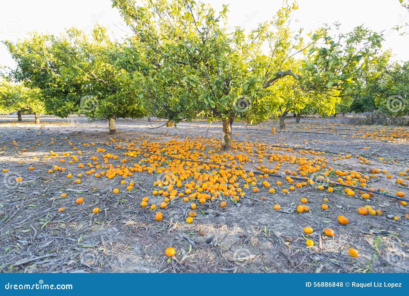 Pomarańczowi drzewa
