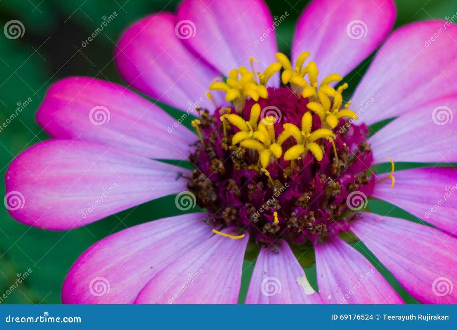 Pomarańczowy cynia kwiat