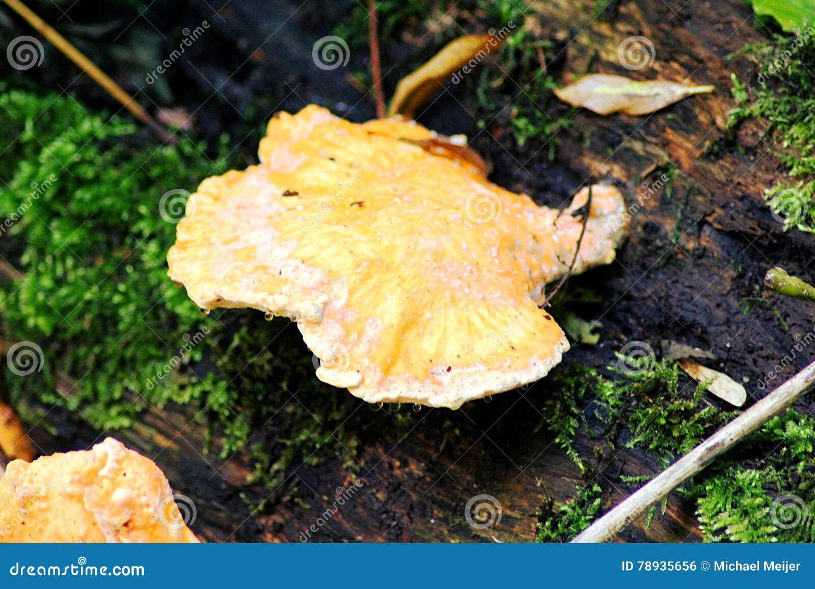 Pomarańczowy drewniany grzyb