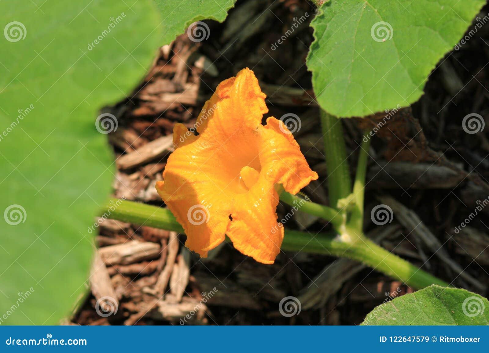 Pomarańczowy Dyniowy roślina kwiatu okwitnięcie