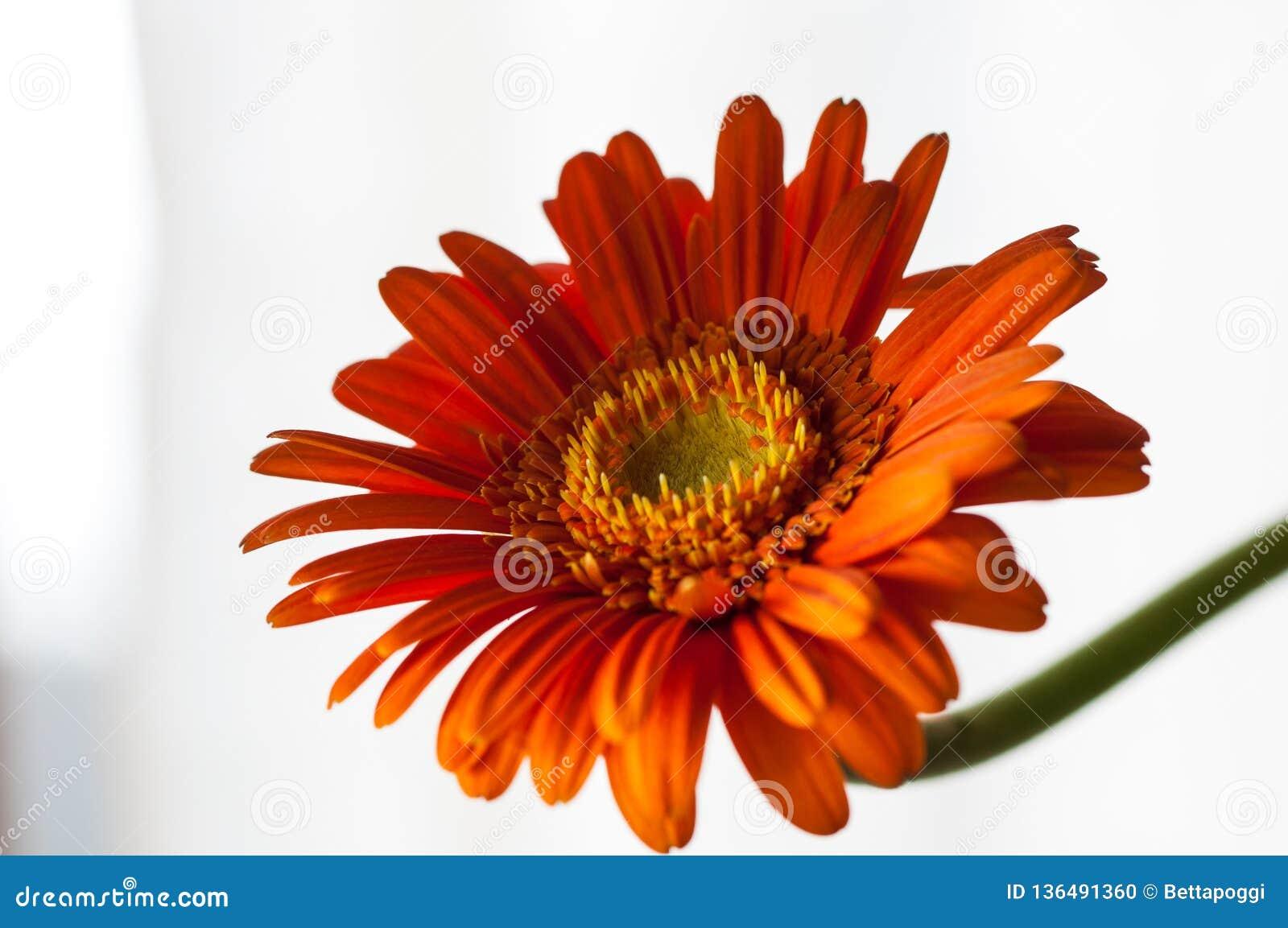 Pomarańczowy gerber kwiat odizolowywający na białym tle