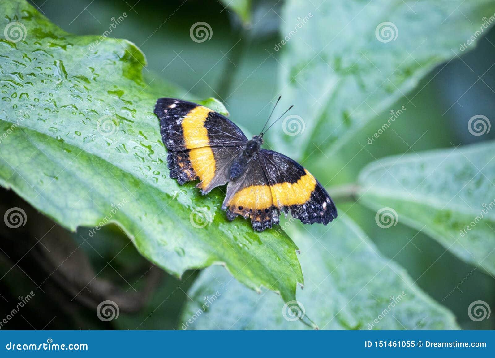 Pomarańczowy motyli obsiadanie na liściu