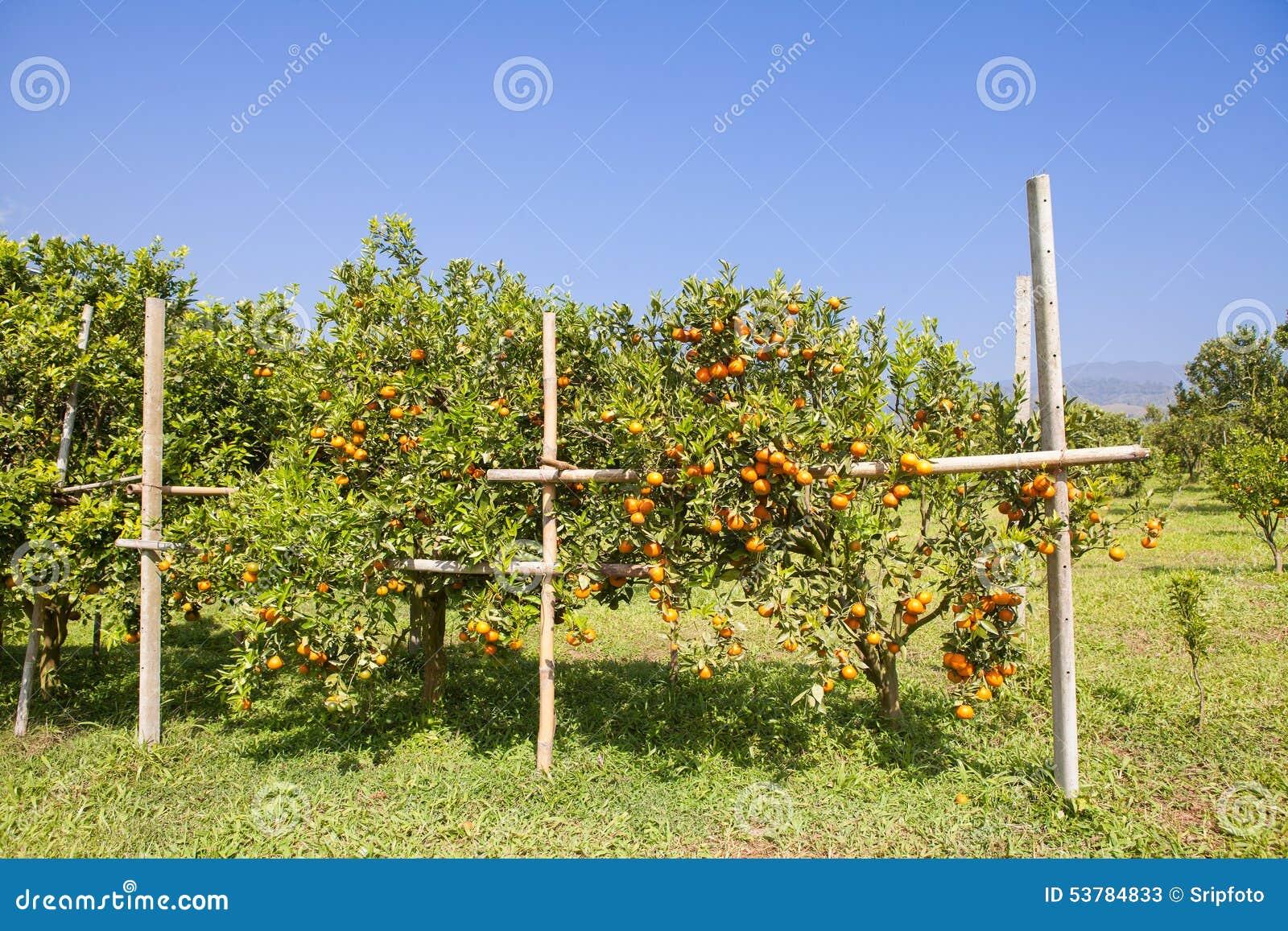 Pomarańczowy sad w północnym Tajlandia