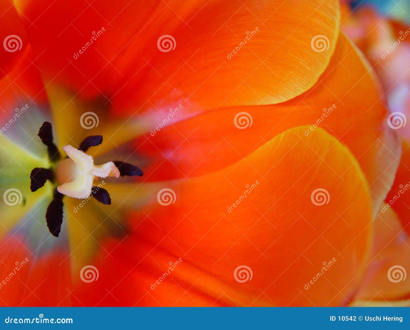 Pomarańczowy tulipan