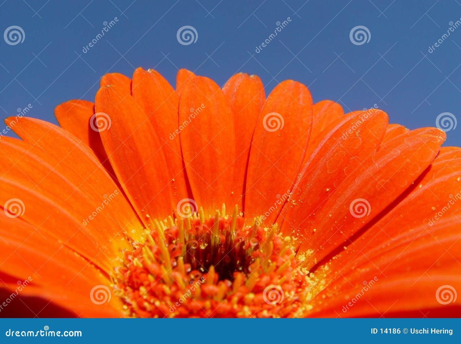 Pomarańcze gerbera