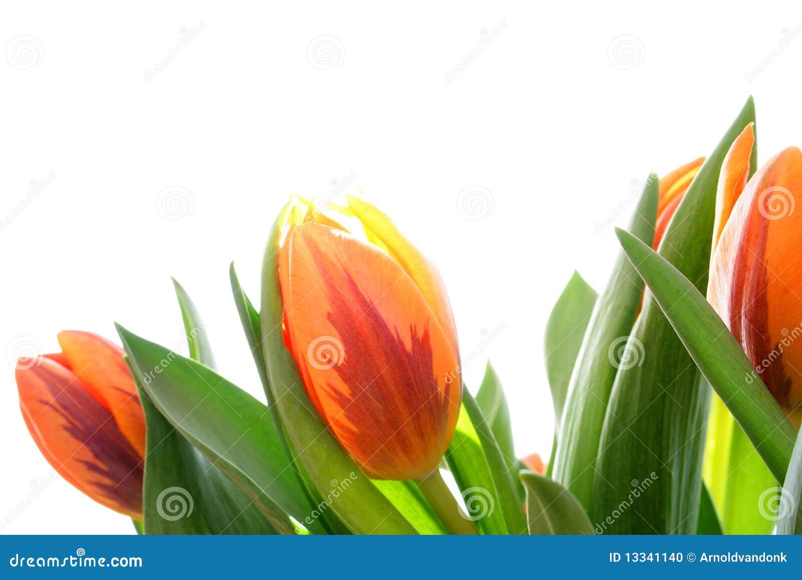Pomarańczowi tulipany