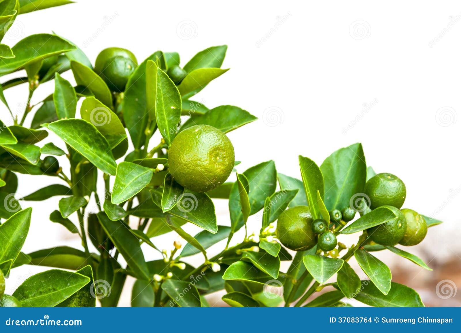 Download Pomarańczowy drzewo zdjęcie stock. Obraz złożonej z owoc - 37083764