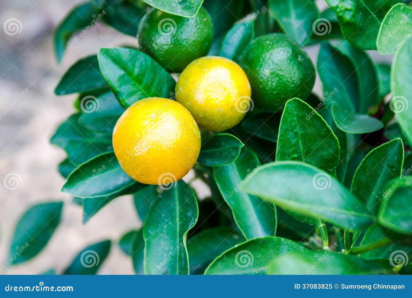 Download Pomarańczowy drzewo obraz stock. Obraz złożonej z cytrusy - 37083825