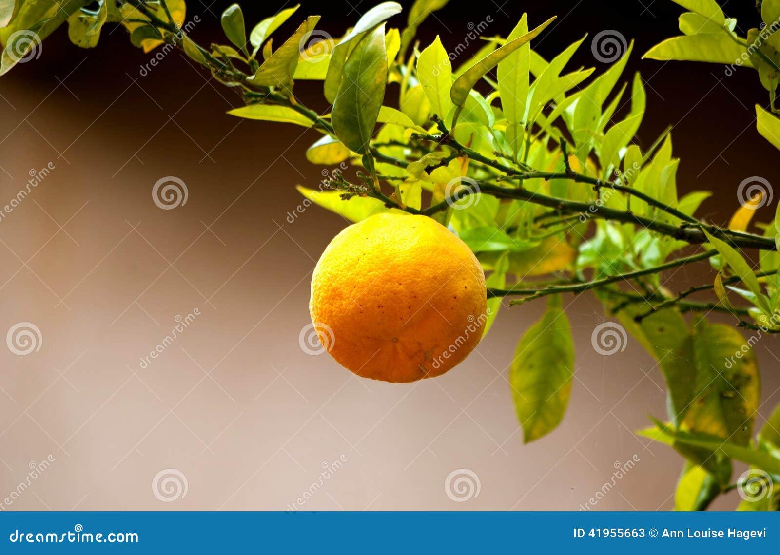 Pomara?czowy Drzewo