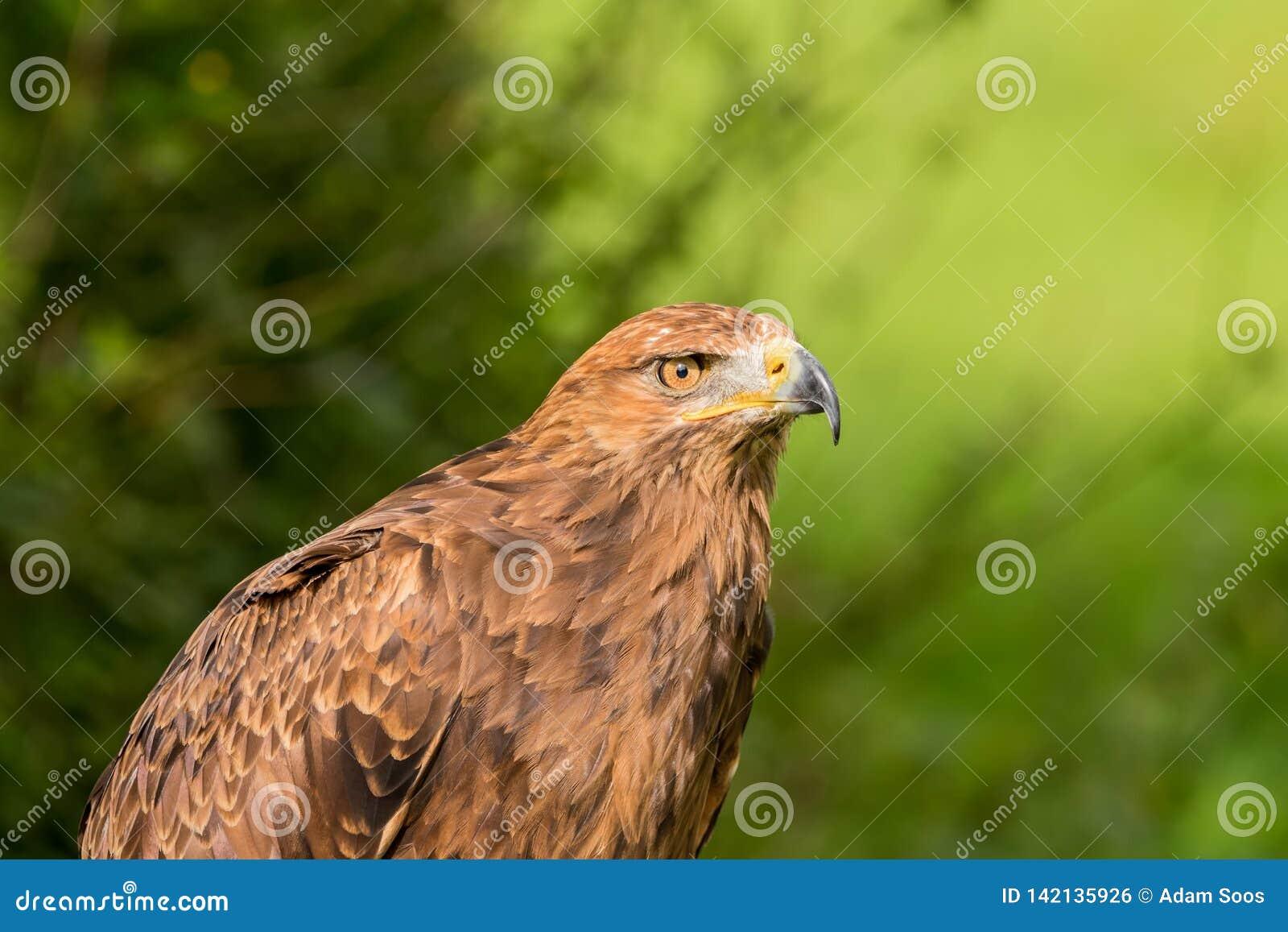 Pomarina de Lesser Spotted Eagle Aquila