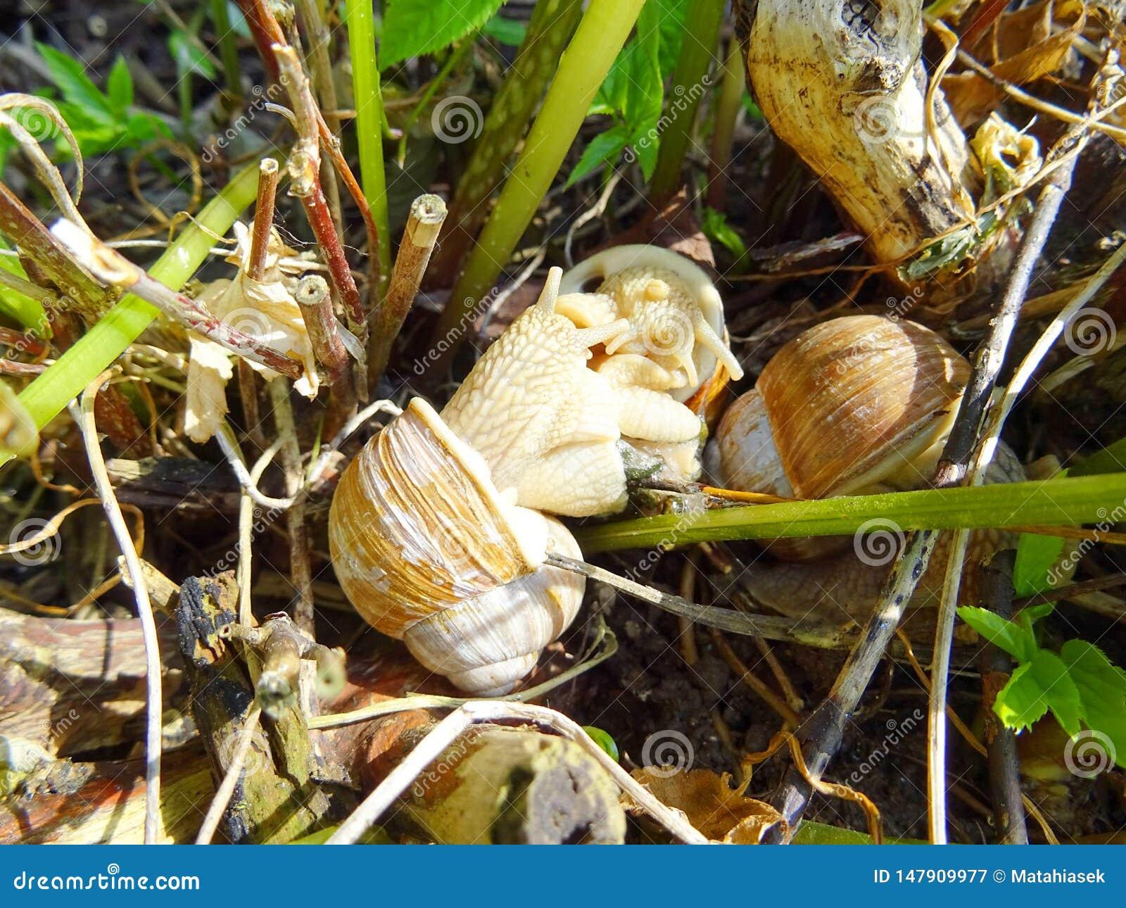 Pomatia adulto de la hélice de tres caracoles en el jardín