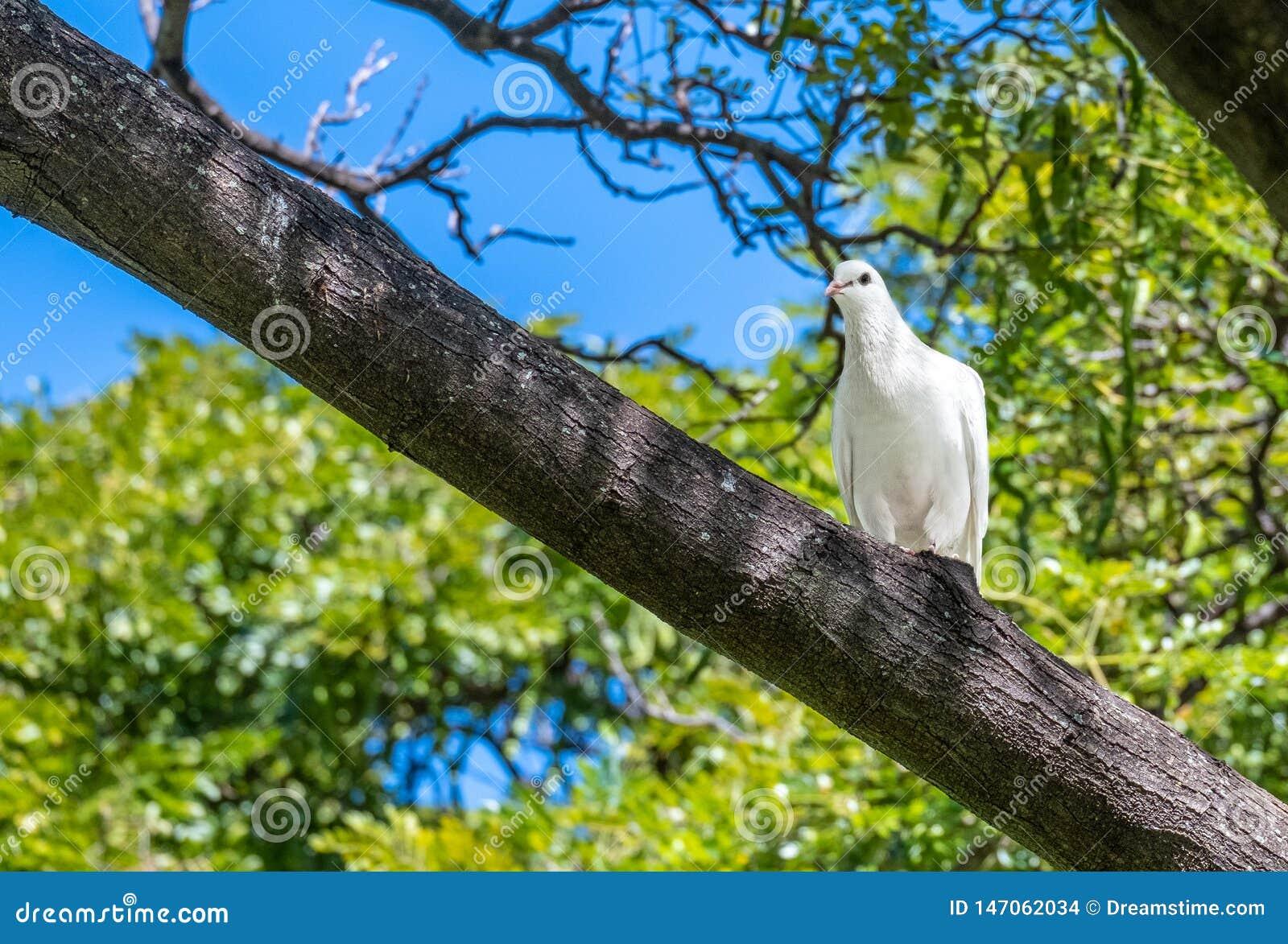 Pomba branca vista no selvagem em Oahu, Havaí