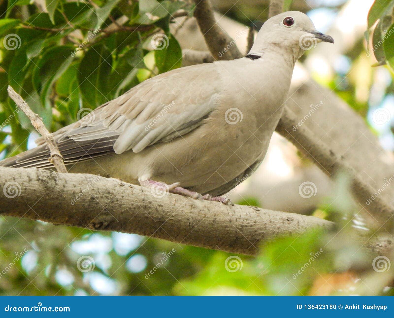 Pomba colocada um colar euro-asiática que senta-se em um ramo de uma árvore que olha algo silenciosamente Criatura bonita feita p