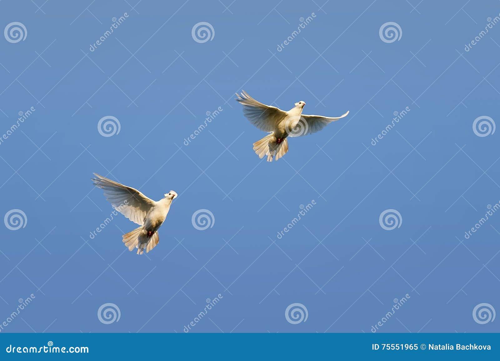 Pombas brancas que voam no fundo do céu azul