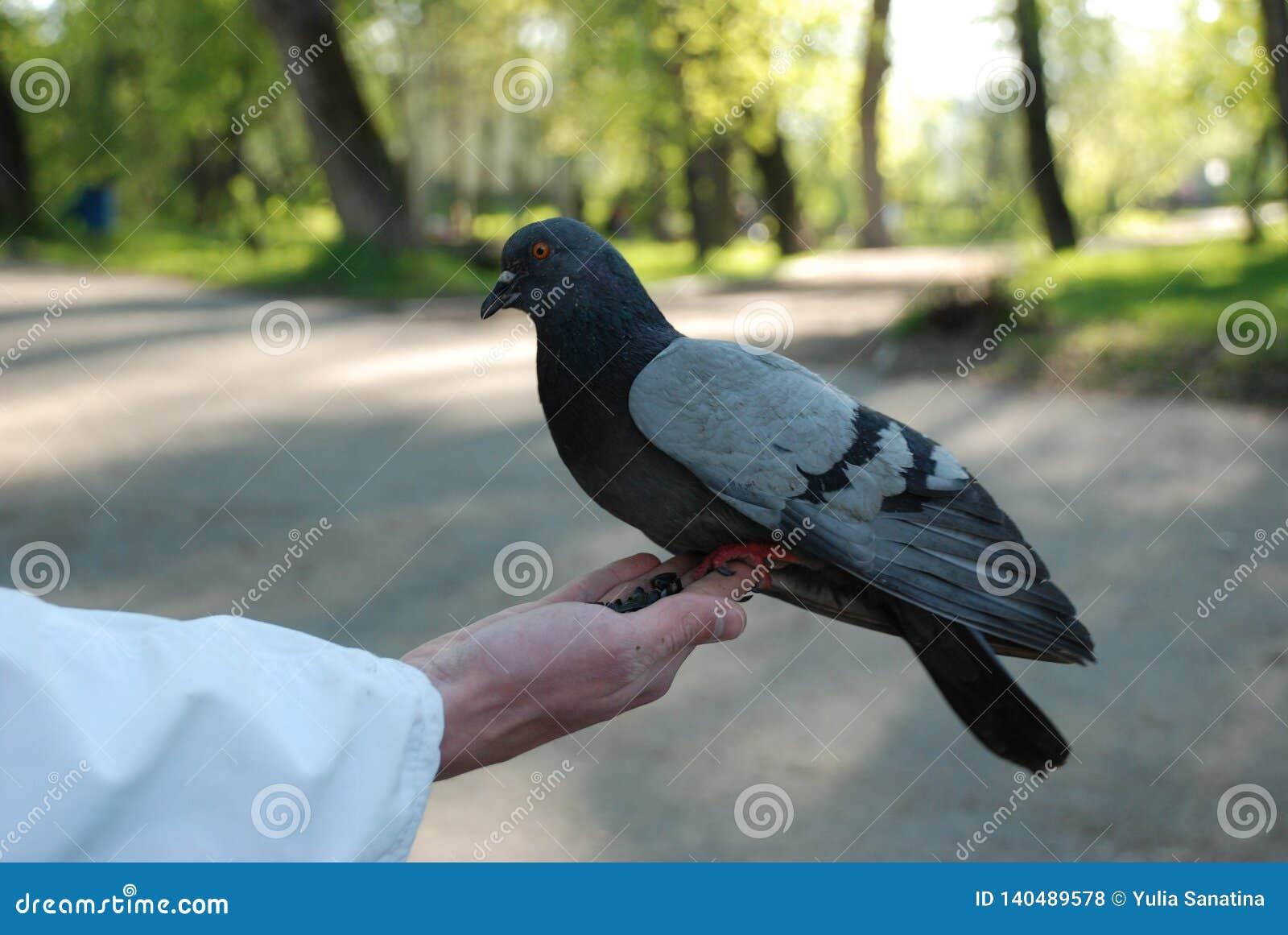 Pombas de alimentação pombos da mão