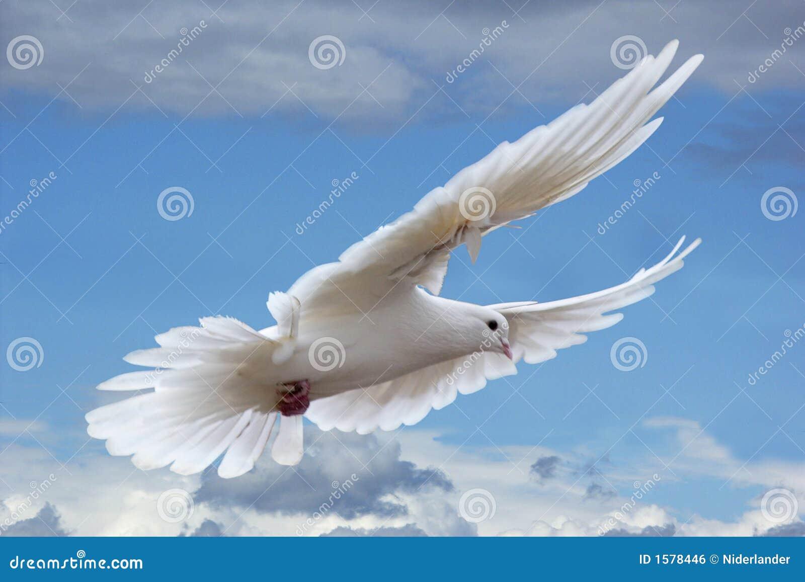Pombo branco nos céus