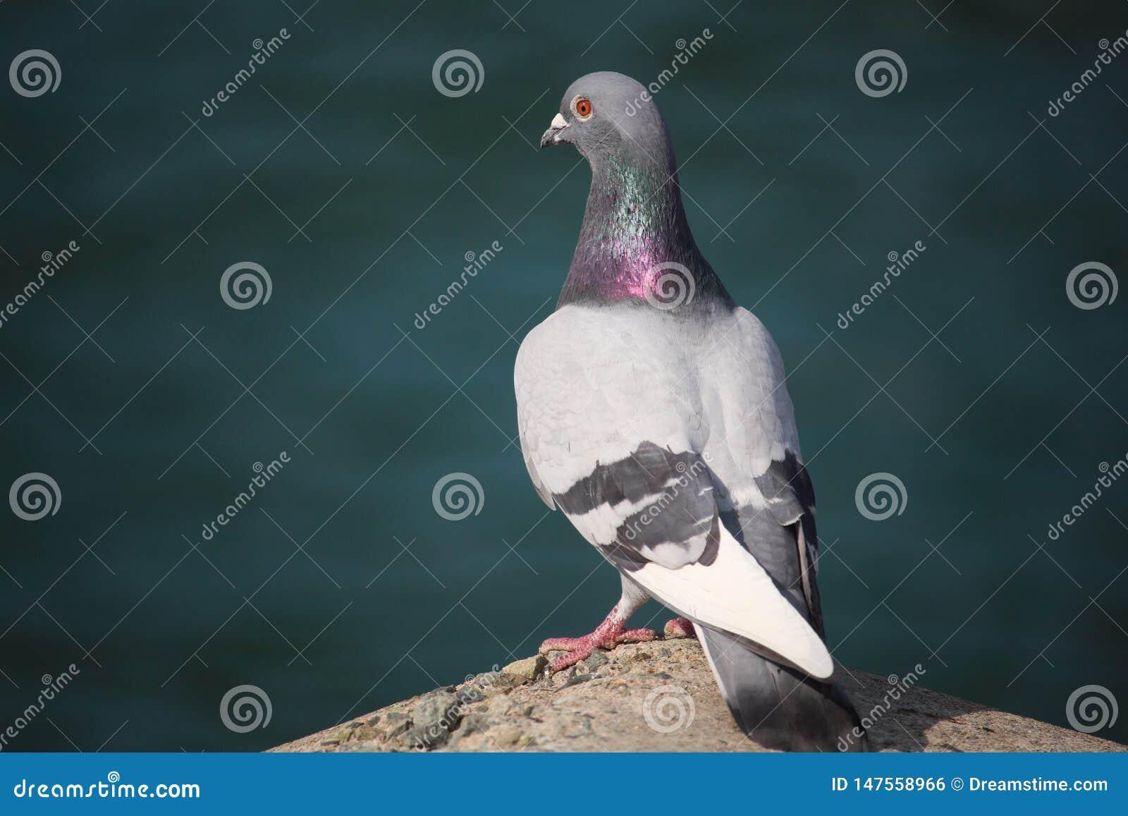 Pombo da foto do pássaro na tarde de Busan