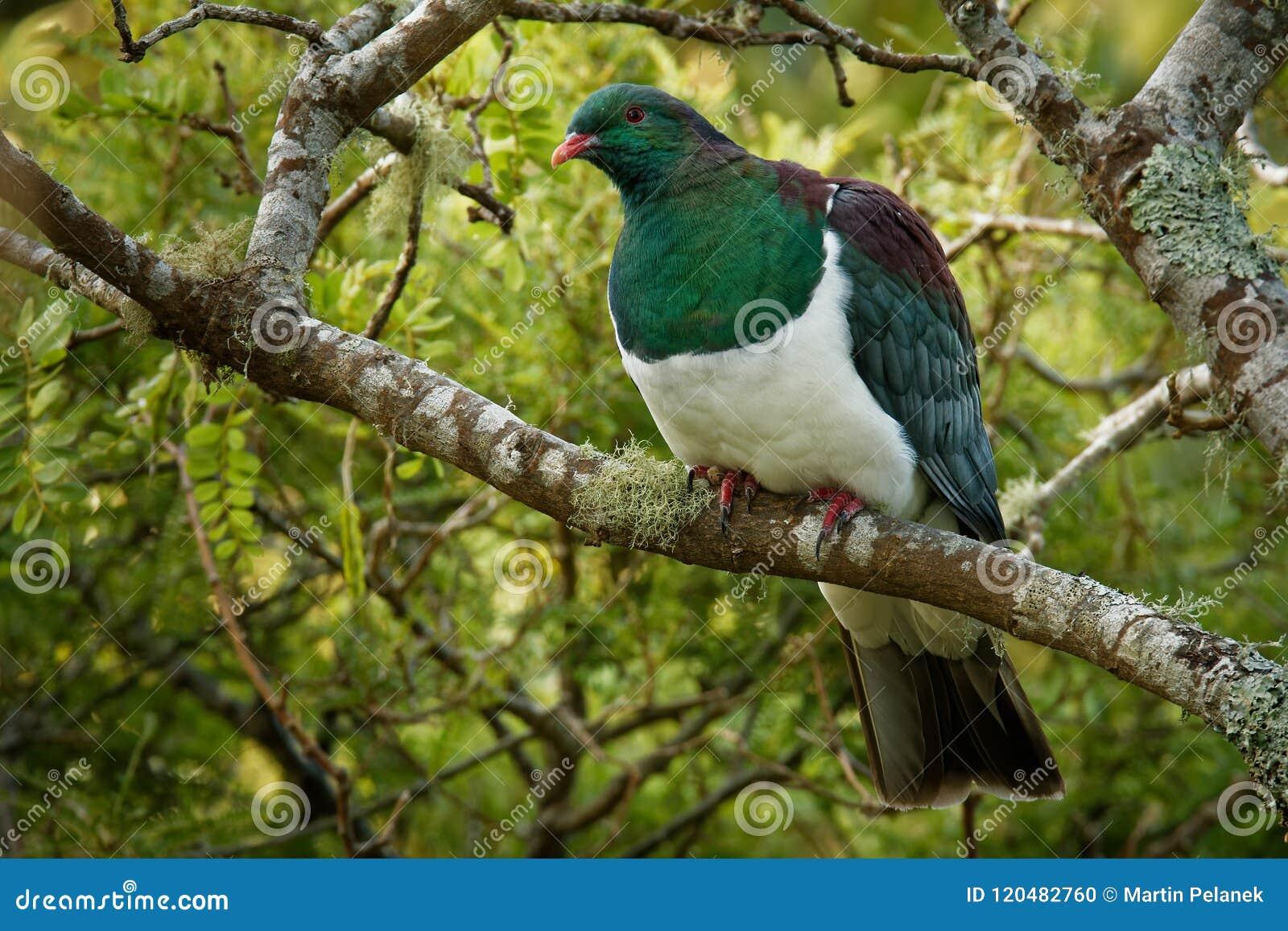 Pombo de Nova Zelândia - novaeseelandiae de Hemiphaga - kereru que senta-se e que alimenta na árvore em Nova Zelândia