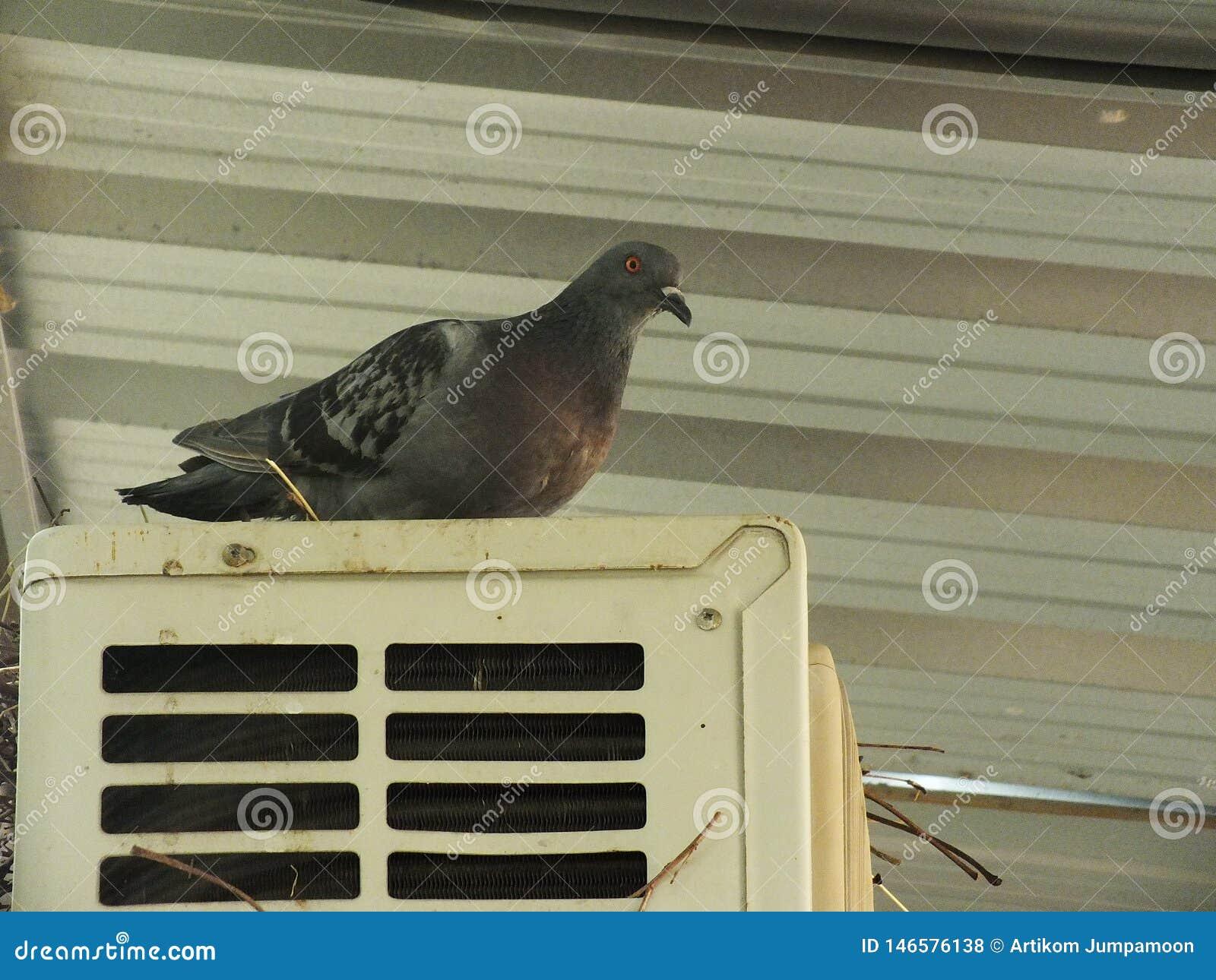 Pombo no balc?o, borda da janela