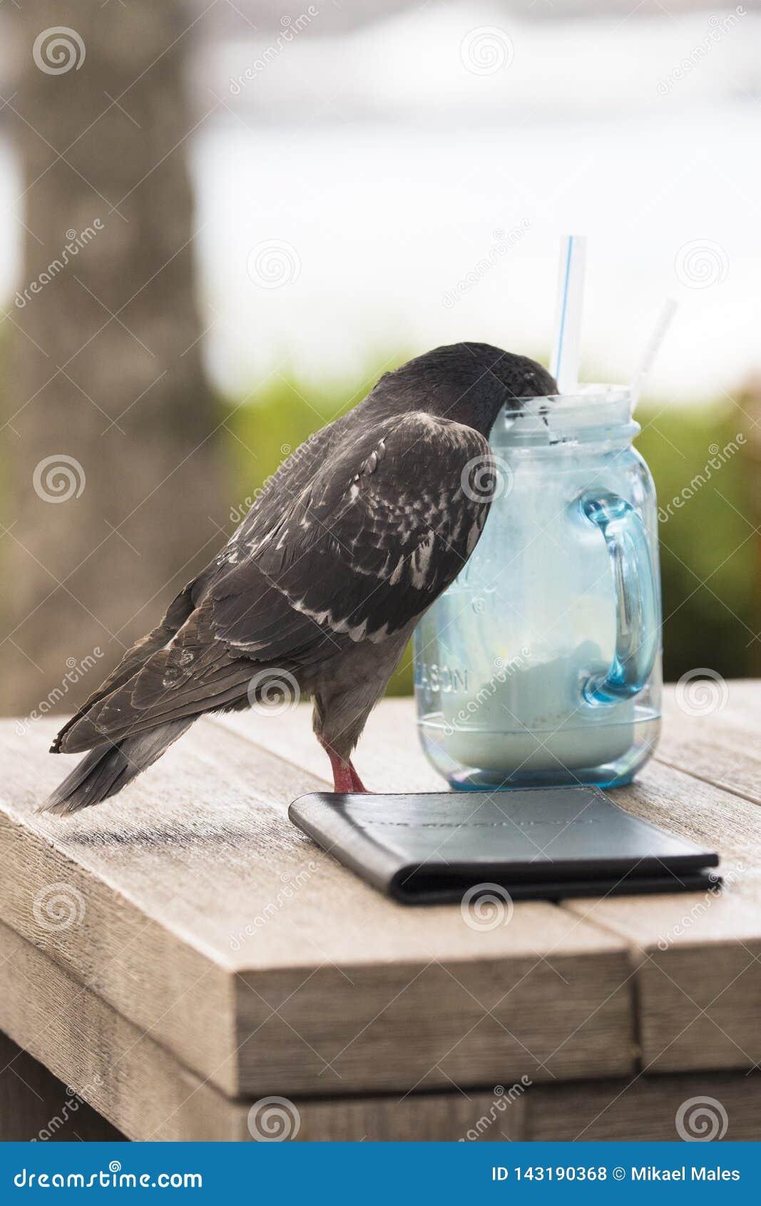 Pombo que obtém bêbado em bebida misturada