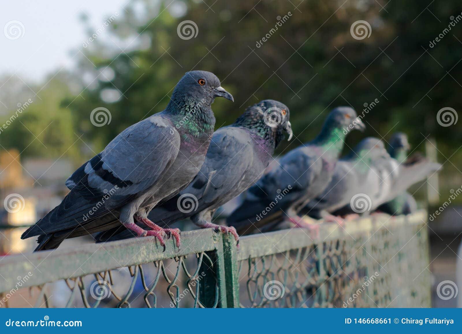 Pombos e pombas