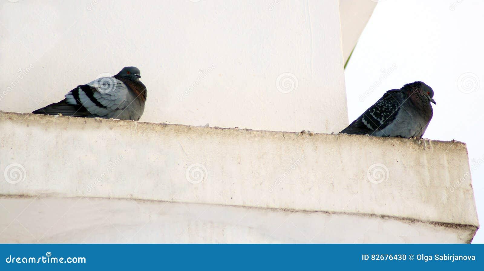 Pombos no inverno, pássaros que esperam o alimento dentro