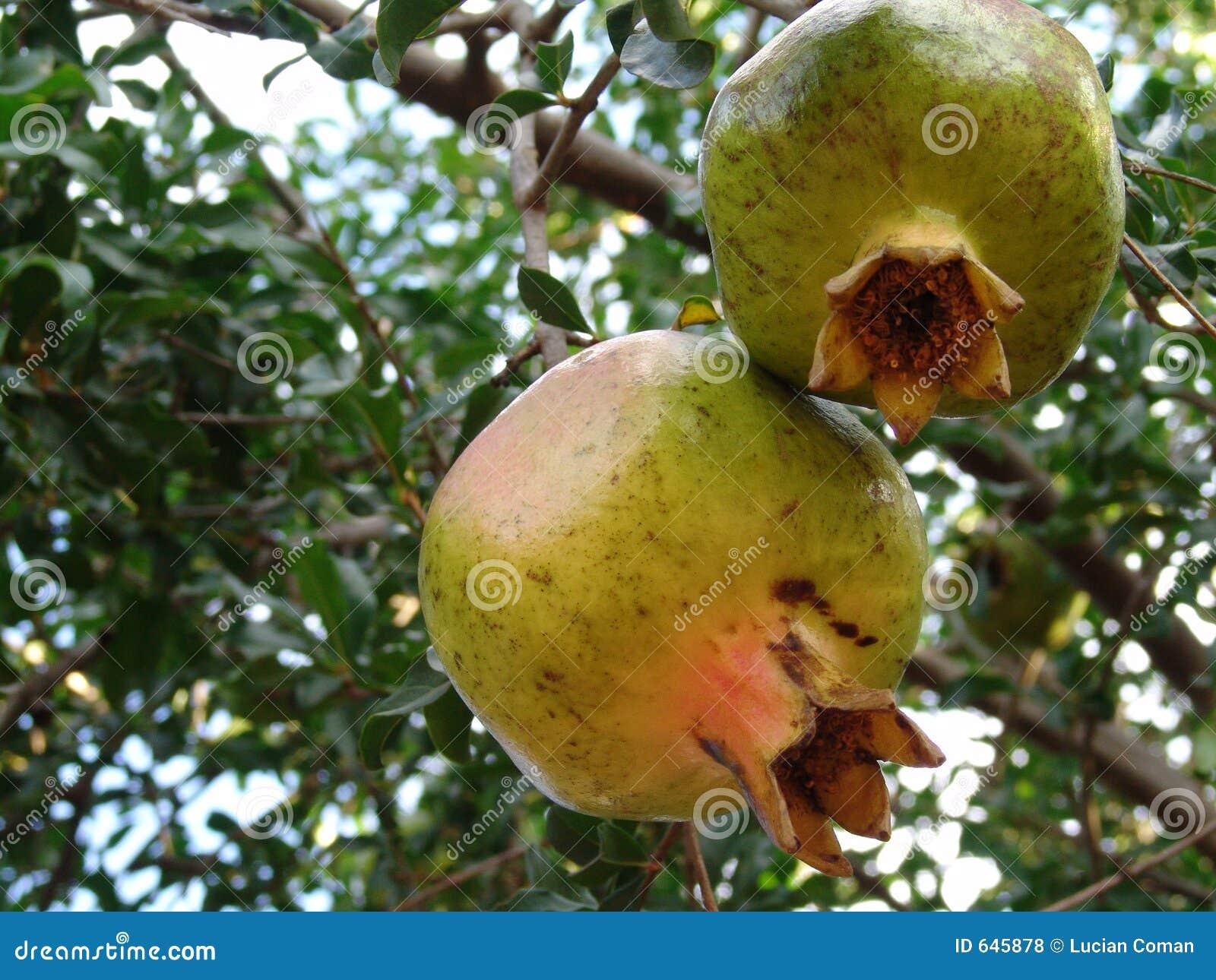 Download Pomegranate плодоовощ зеленый Стоковое Фото - изображение насчитывающей зреть, вал: 645878