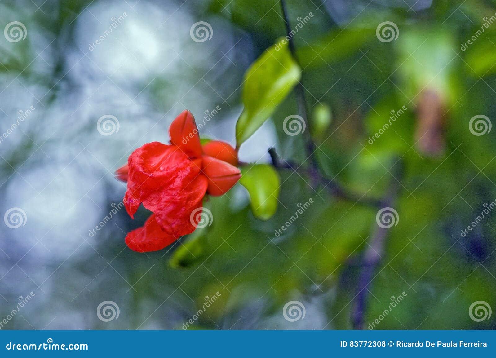 Pomegranate flower