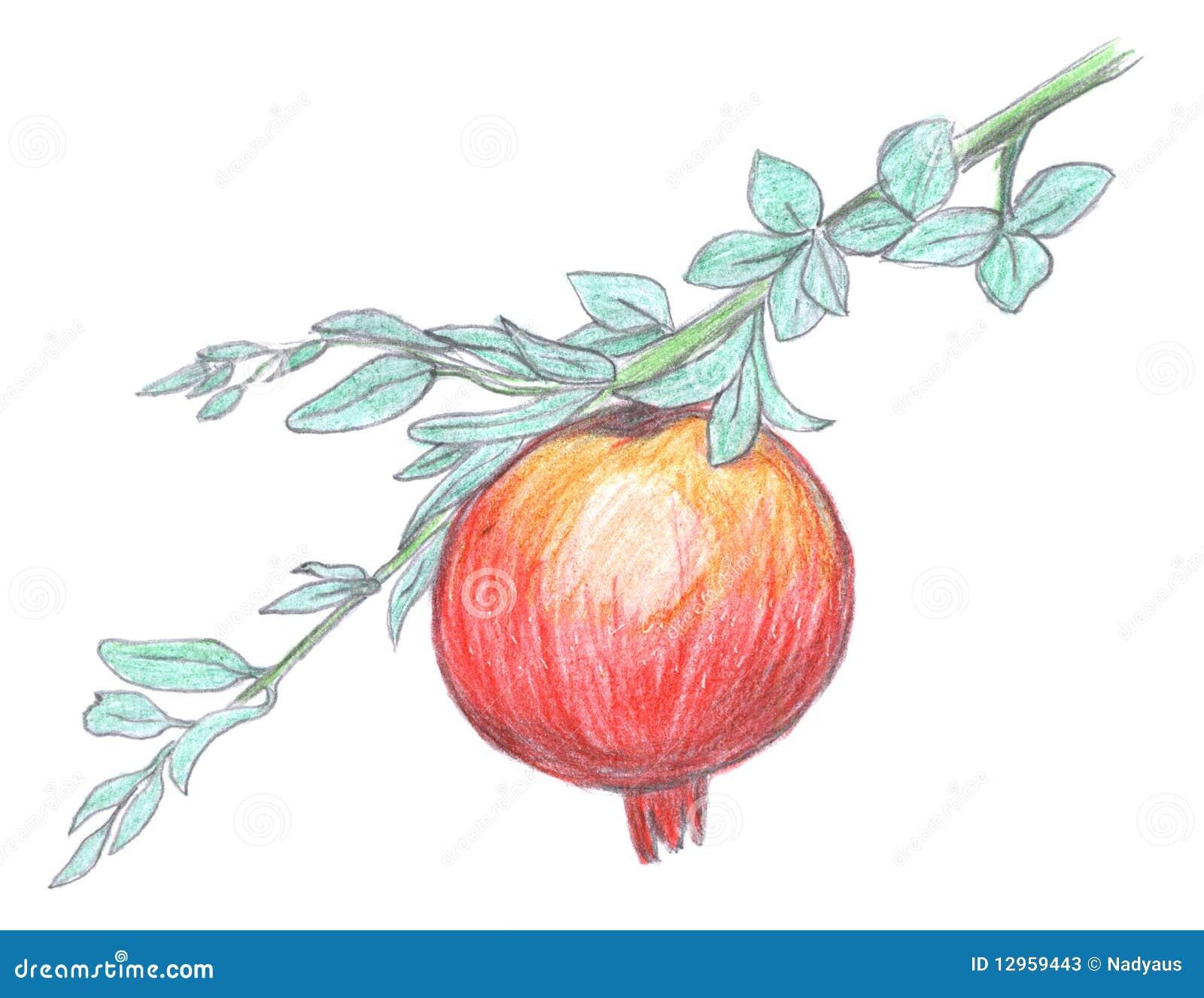 Pomegranate Fruit Sketch Garnet Stock Photos Image
