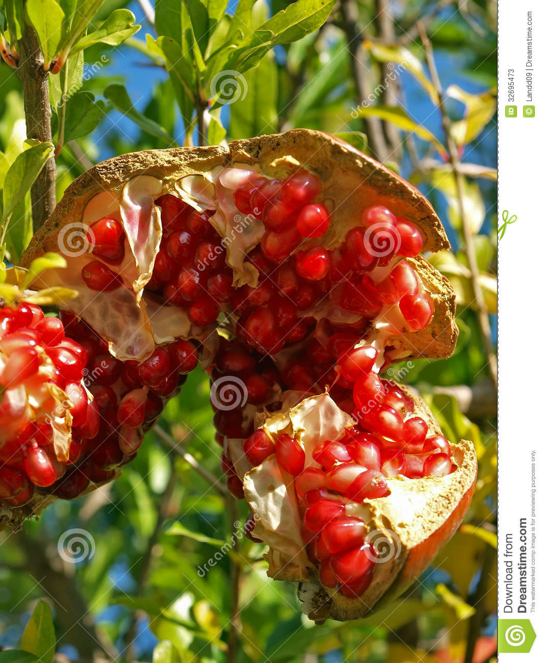 Pomegranate 6 stock image image of diet food dessert 32695473 - Mediterranean garden plants colors and scents ...