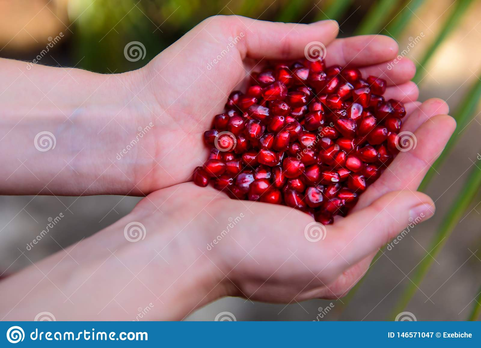 Pomegranate seeds in woman`s palms close up. Female hands holding garnet grain top view