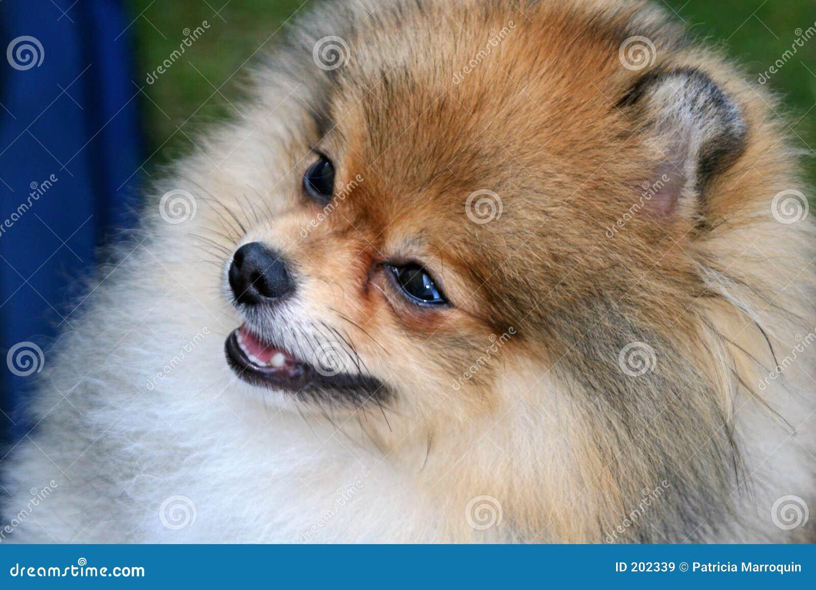 Pomeranian俏丽