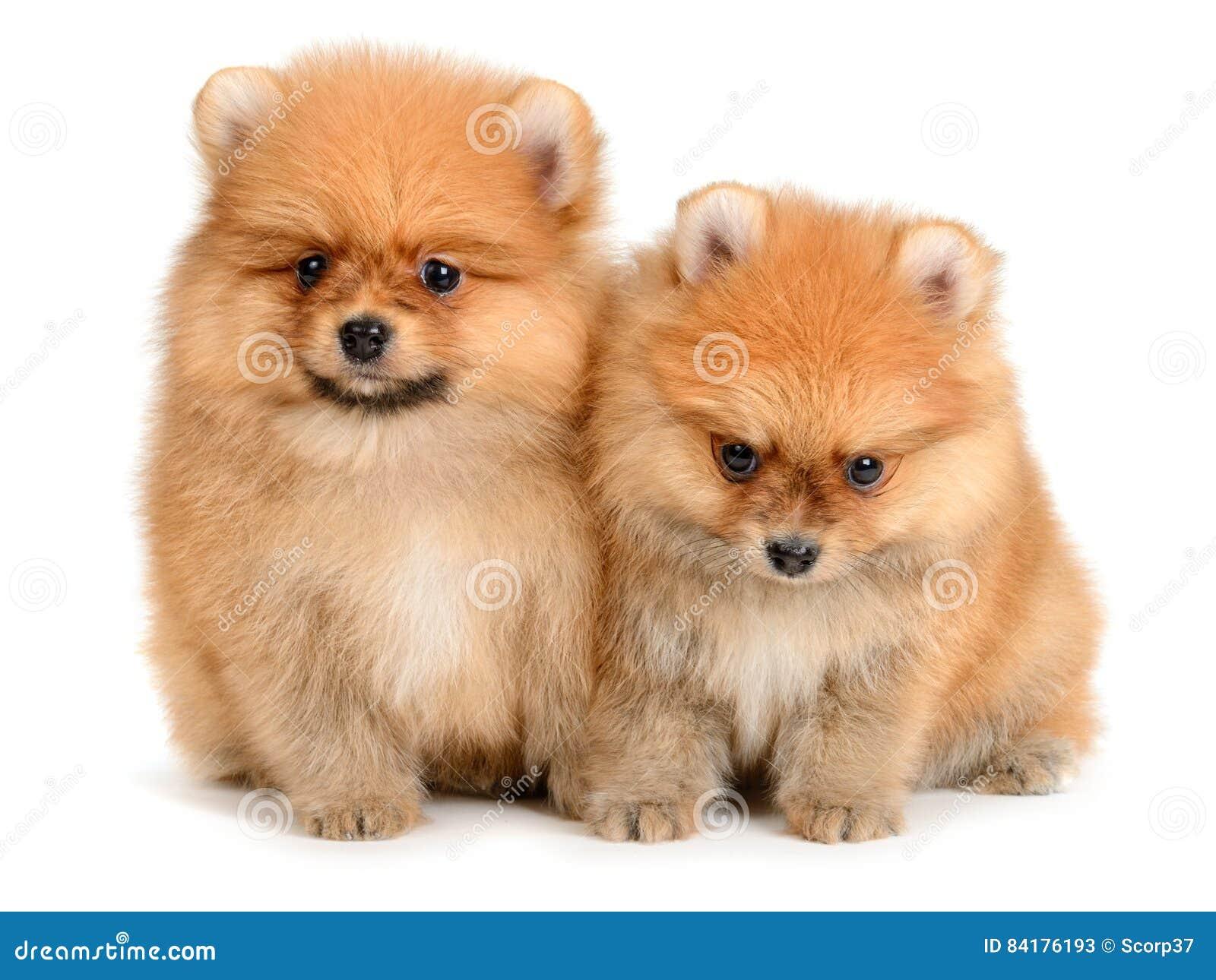 Pomeranian小狗