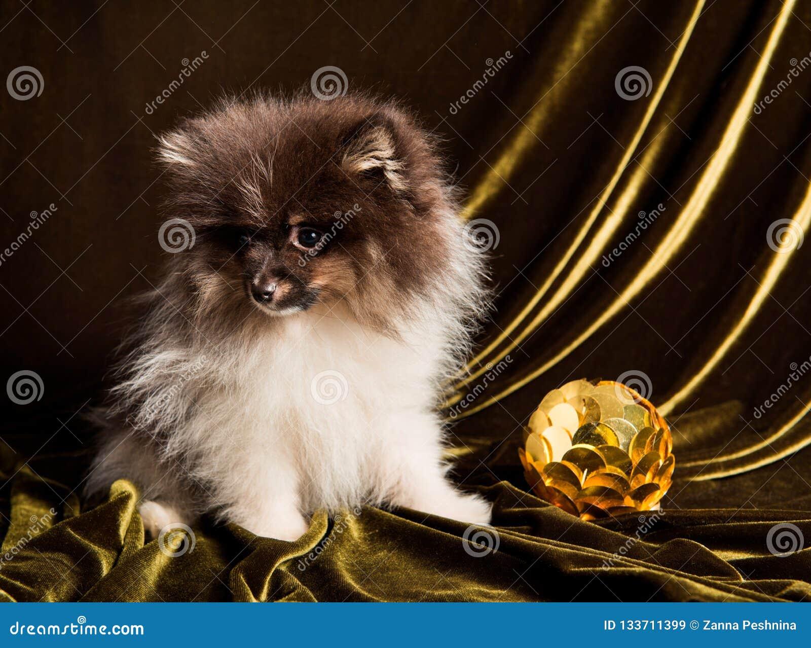 Pomeranian波美丝毛狗与新年球的狗小狗在圣诞节或新年