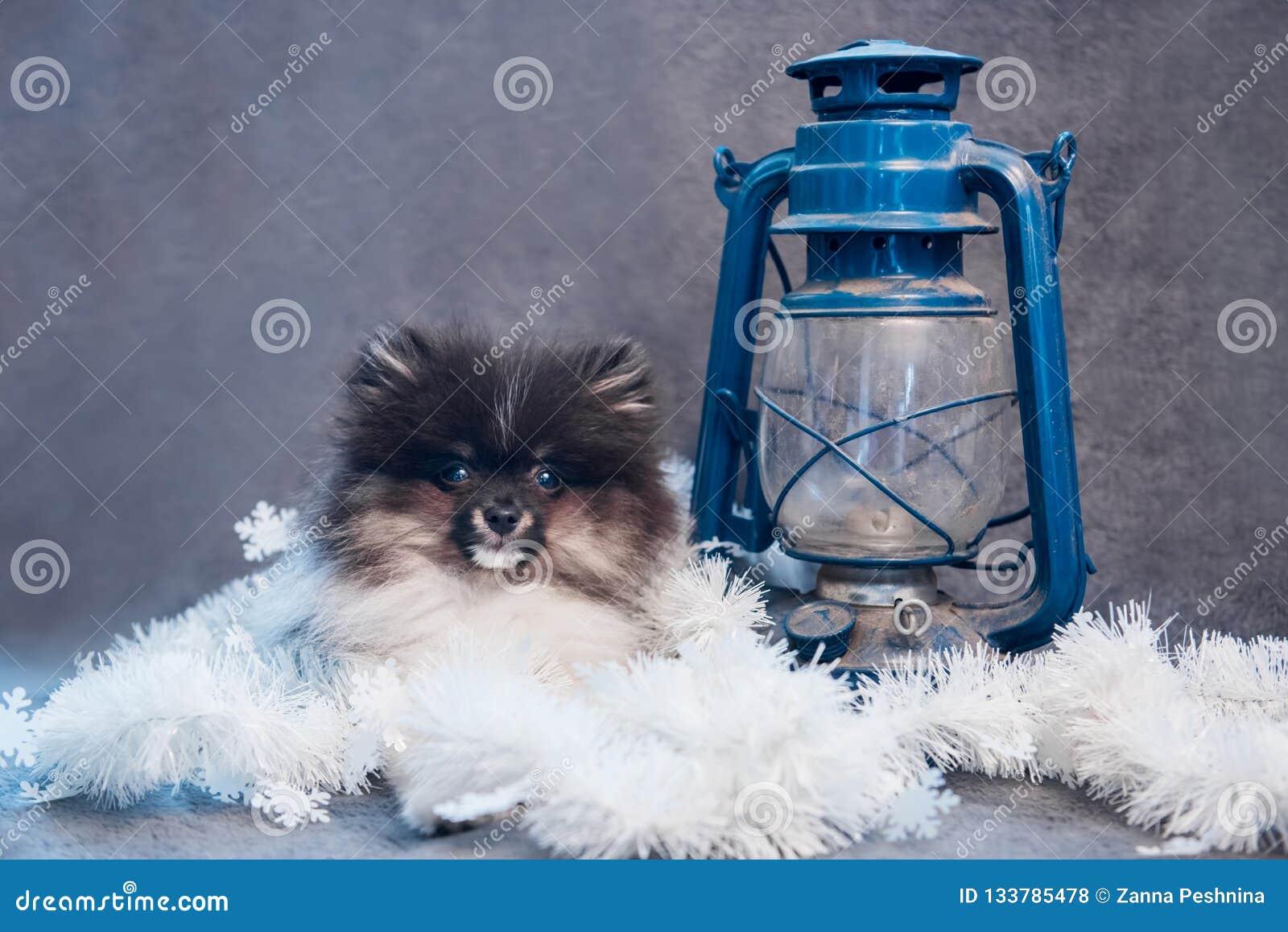 Pomeranian波美丝毛狗在诗歌选的狗小狗在圣诞节或新年