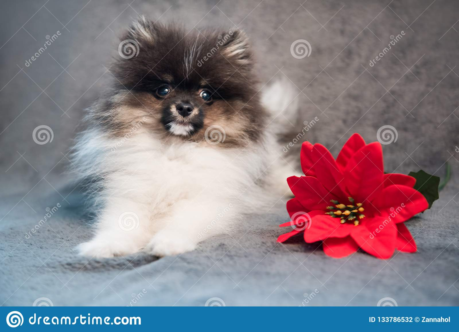 Pomeranian波美丝毛狗狗小狗和红色花在圣诞节
