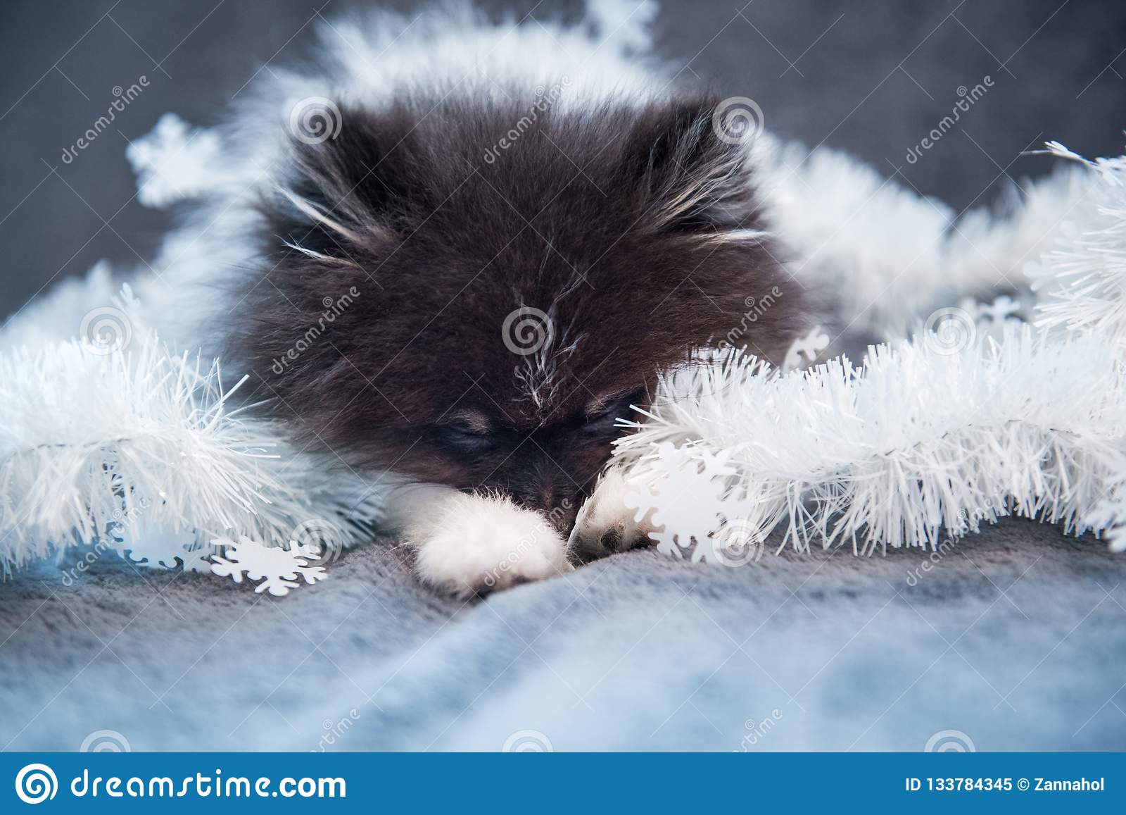 Pomeranian波美丝毛狗狗小狗在诗歌选睡觉
