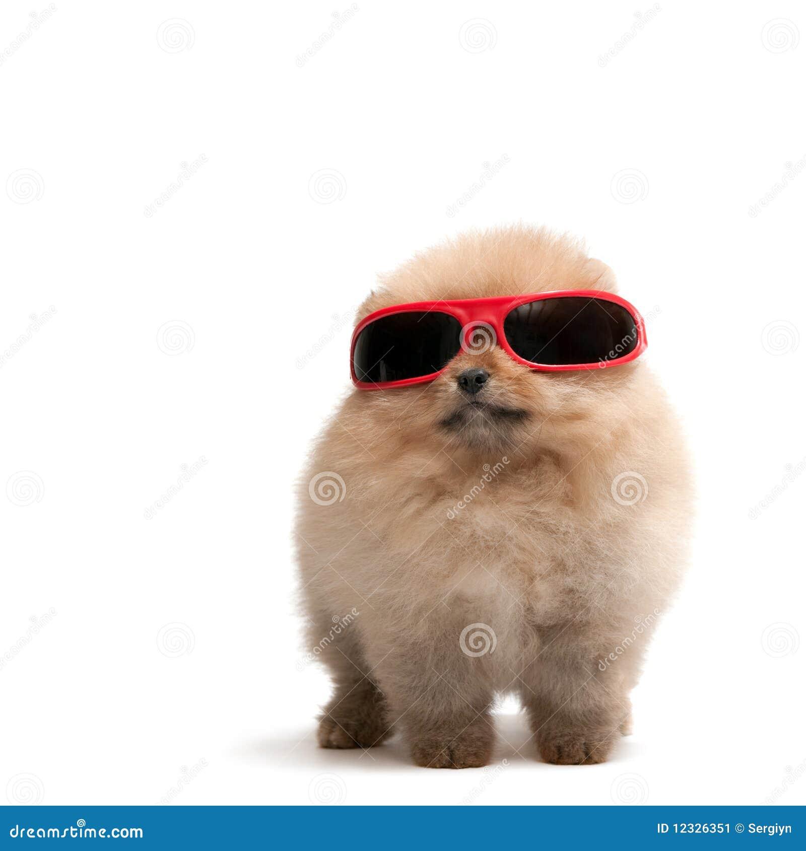 bee26c4a9d απομονωμένα pomeranian spitz γυαλιά ηλίου που φορούν το λευκό. Φωτογραφία  ...