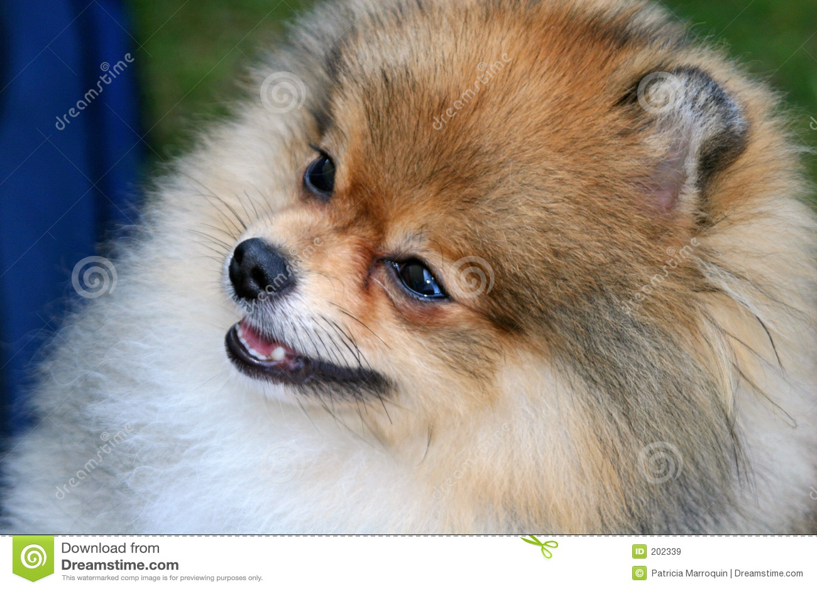 Pomeranian όμορφος
