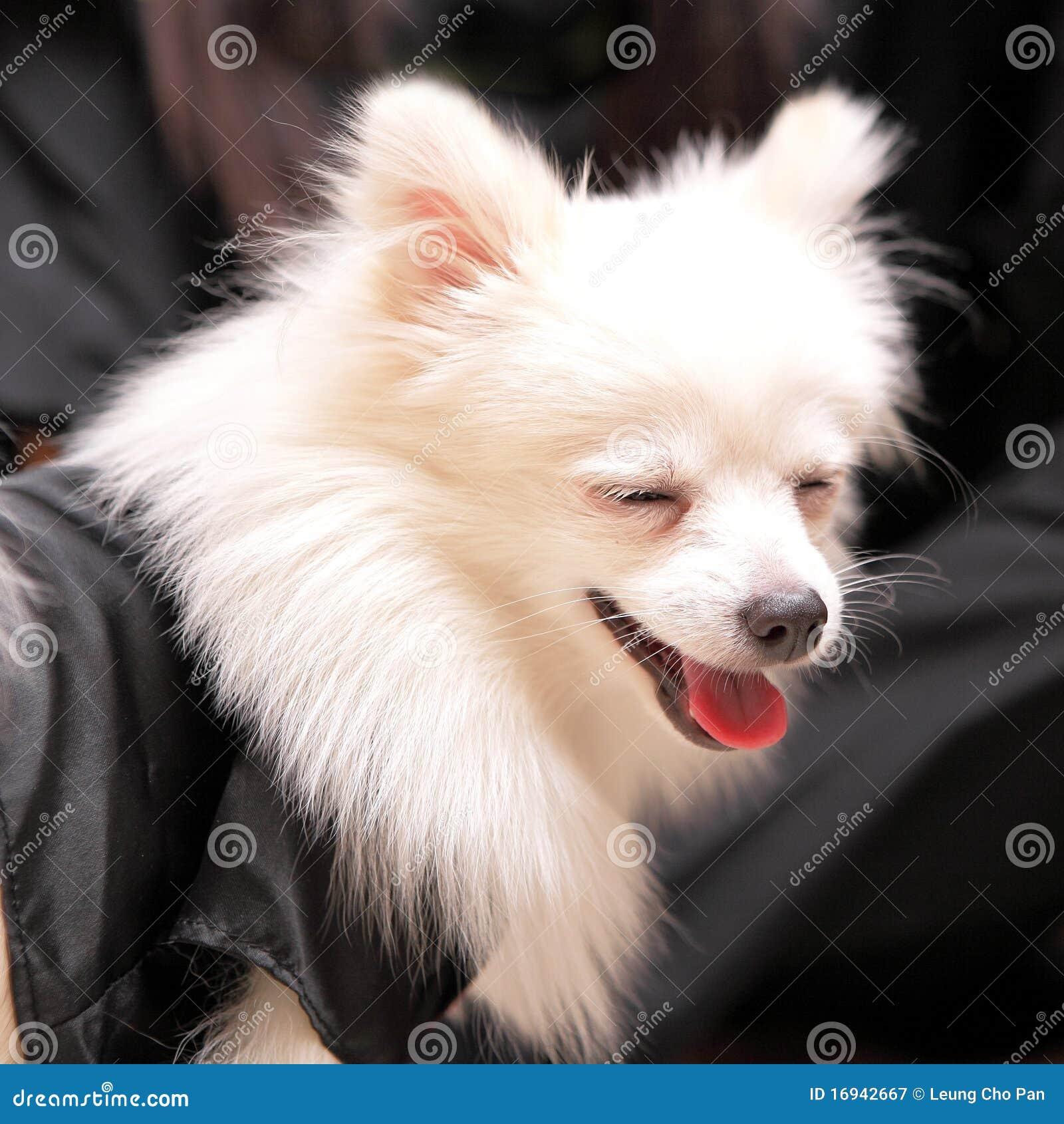 狗pomeranian微笑
