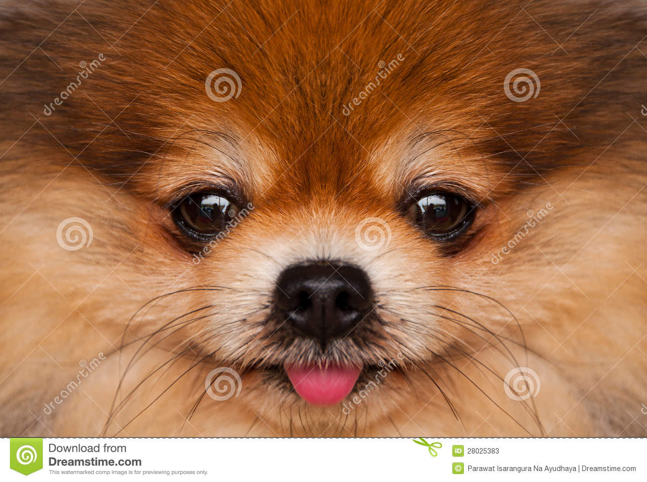 pomeranian faces pomeranian stock photos image 28025383 1999