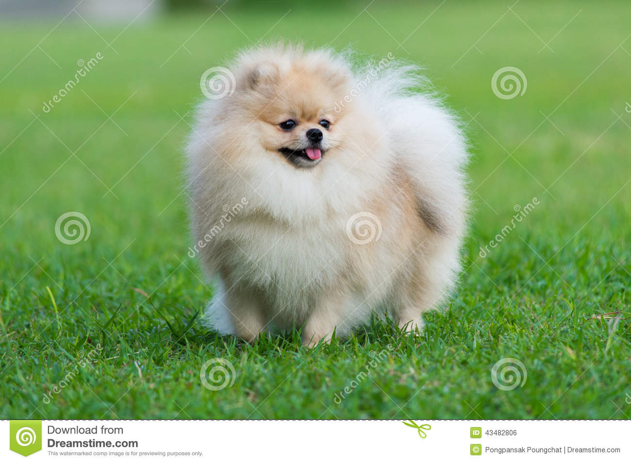 pomeranian dog breed information and pictures - HD1191×850