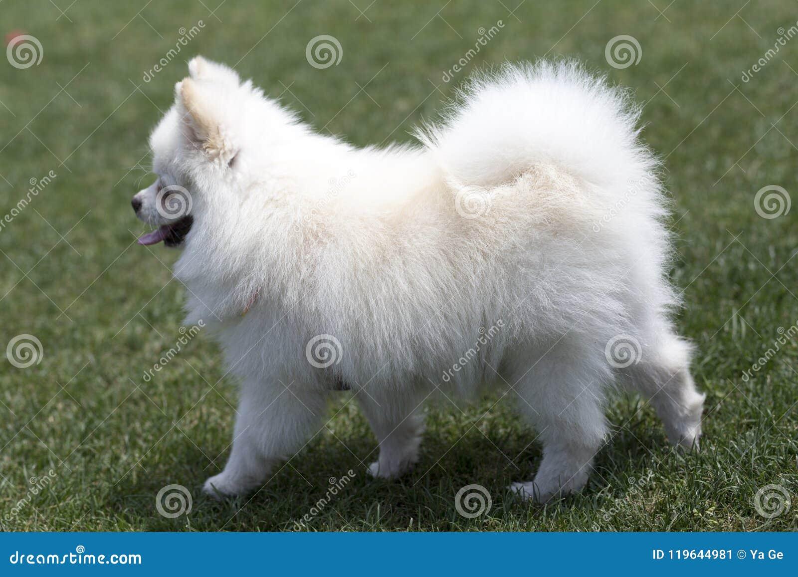 Pomeranian Stock Image Image Of Sunshine Small Squirrel 119644981