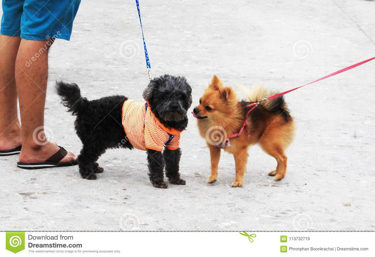 Pomeranian Brown and friend walking with the owner.