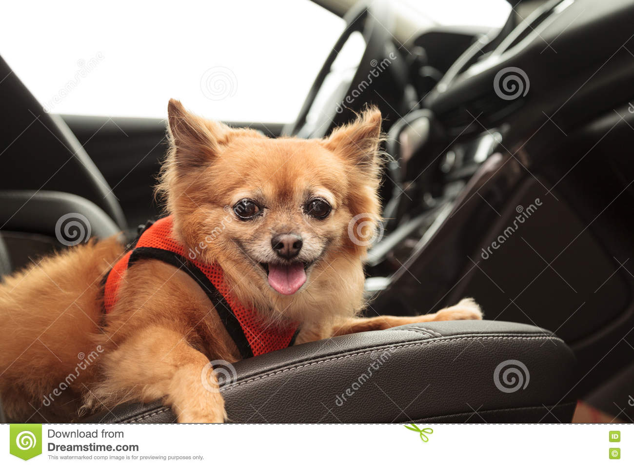 Pomeranian And Chihuahua Mix Dog Goes For A Ride Stock Photo Image